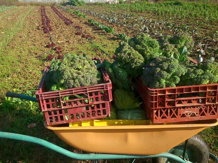 Brócoli ecológico
