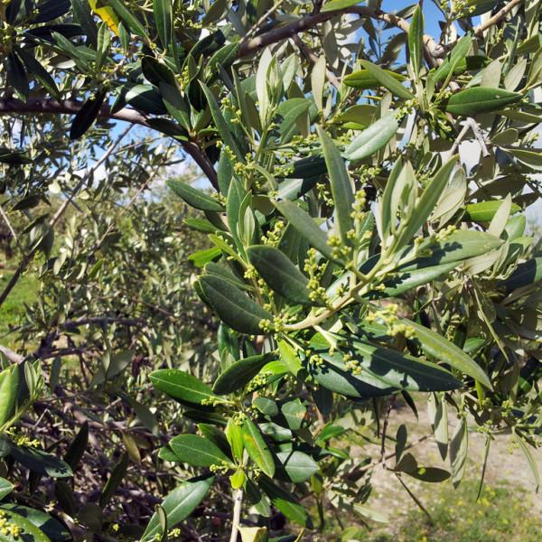 Enclave de Oliva / Aceite de Oliva Virgen Extra Ecológico