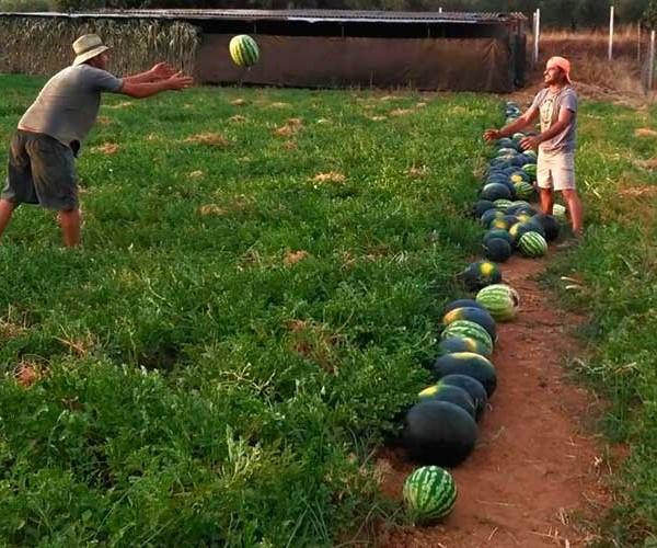 Sandías y melones ecologicos. / Bioalgamasilla